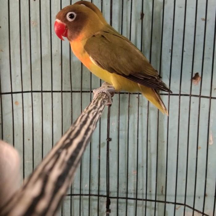 Jual Lovebird Paud Prospek Kota Madiun Al Aisy Sf Tokopedia
