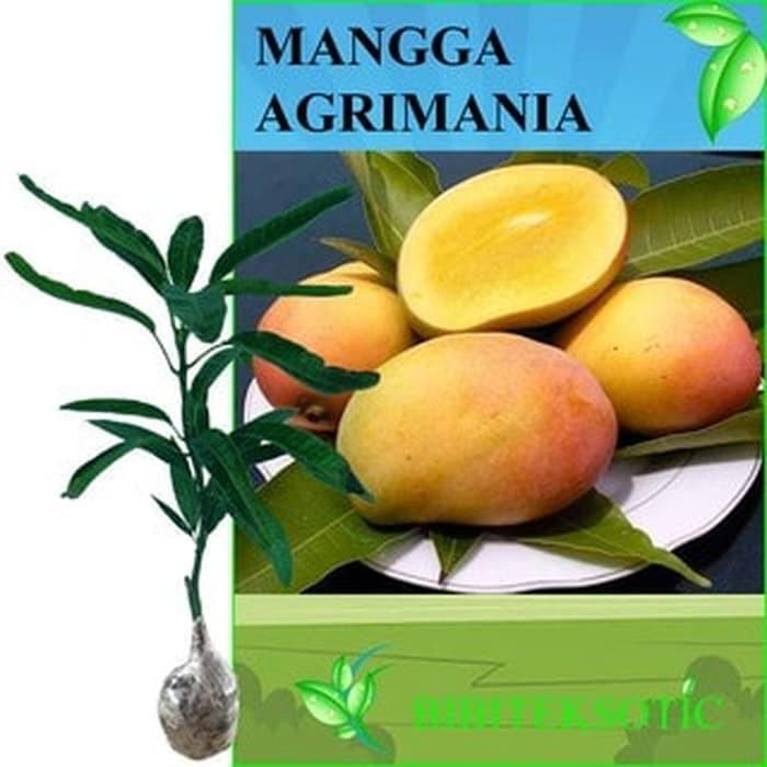 Tanaman Mangga Agrimania