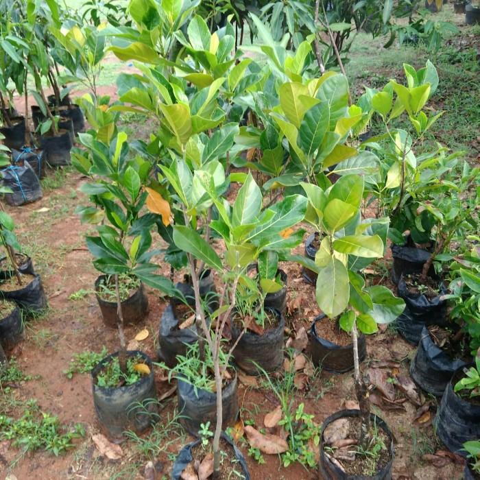 Jual Tanaman Pohon Nangka Kab Bekasi Adz Dzikra Flora Tokopedia