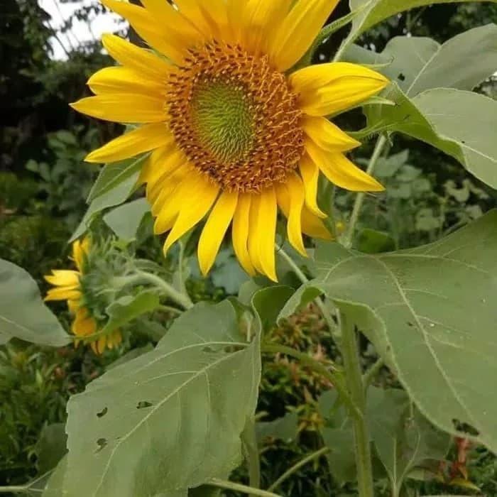 Jual Tanaman Bunga Matahari Matahari Besar Jakarta Utara Keisha Flower Tokopedia