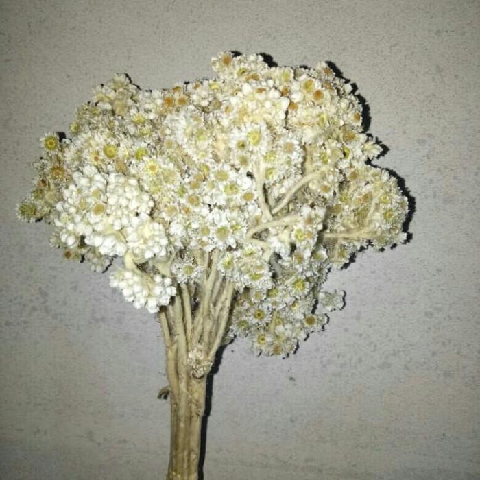 harga Bunga edelweis putih edelweiss asli Tokopedia.com