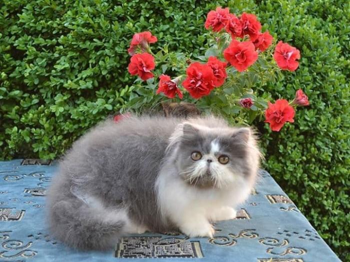 Katalog Kucing Persia Pesek Travelbon.com