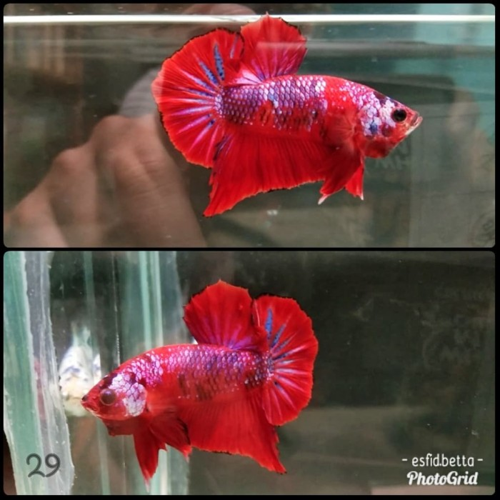 Jual Ikan Cupang Hmpk Fancy 007 Kab Tangerang Esfid Betta Tokopedia