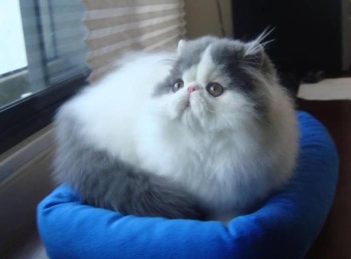 Harga Kucing Persia Pesek Travelbon.com