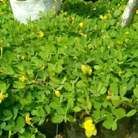 Jual Tanaman Hias Kacang Kacangan Bunga Kuning Kab Bogor Cataleya Sintetis Tokopedia