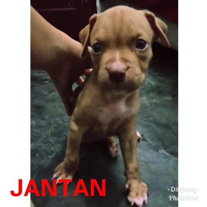 Jual Anjing Pitbull Kota Medan Seven Seas Kennel Tokopedia