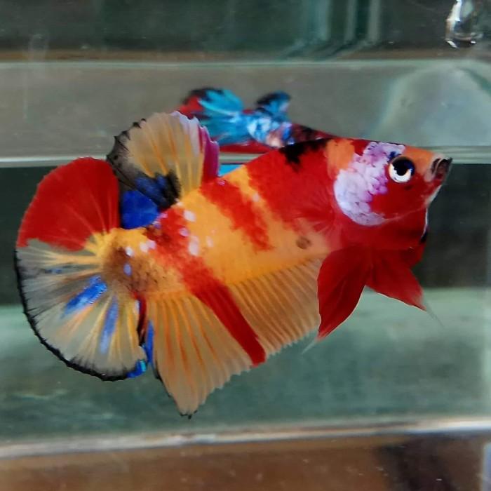 Jual Ikan Cupang Hias Kemiling Rara Betta Fish Tokopedia