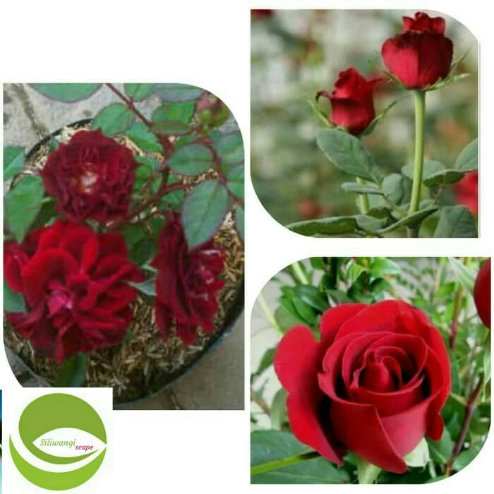 Jual Bibit Bunga Mawar Merah Tanaman Hias Bunga Mawar Merah Kab Bogor Siliwangiscape Tokopedia