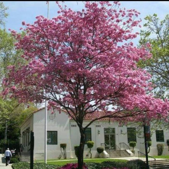 Jual 3 Bibit Tanaman Bunga Tabebuya Sakura Pink Kota Bekasi Toko Okb Tokopedia