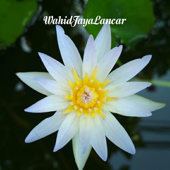 Download 78 Koleksi Gambar Bunga Teratai Putih Gratis Terbaik