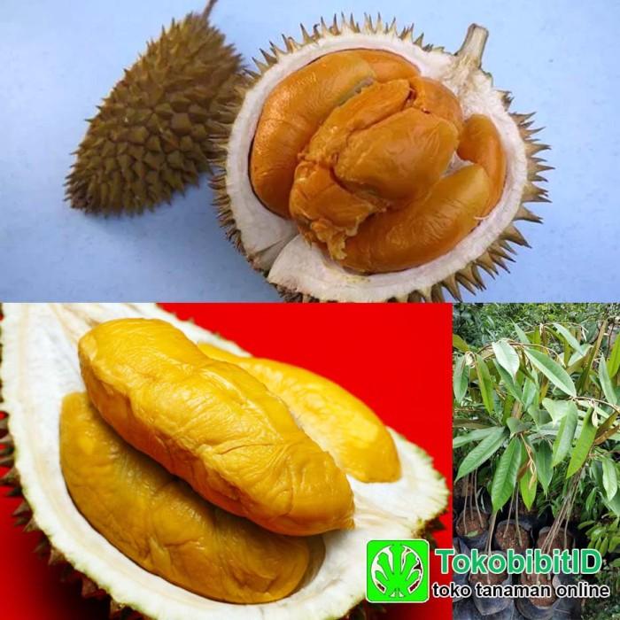 Bibit Tanaman Buah Durian Duri Hitam Kaki 3 - Tinggi 1 meter