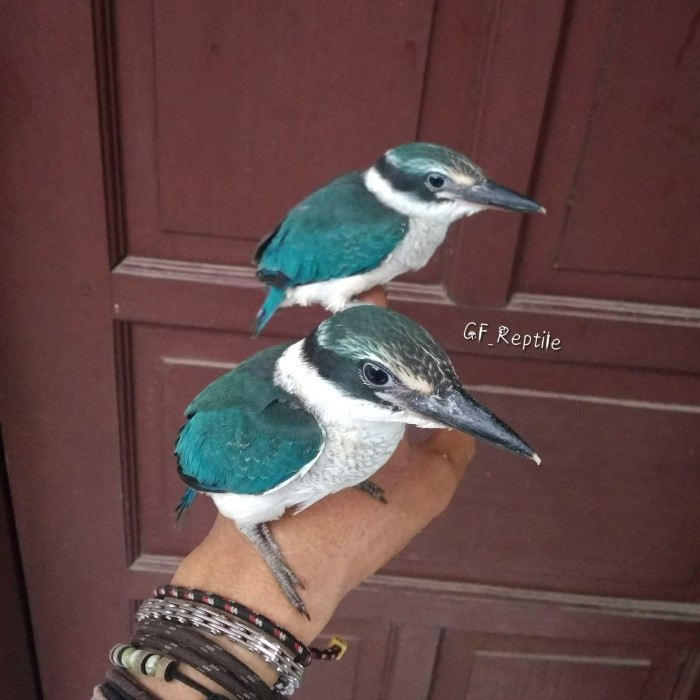 600+ Gambar Burung Tengkek  Gratis
