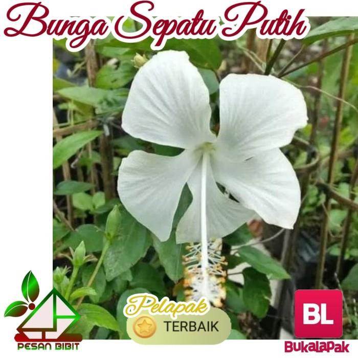 Gambar Bunga Sepatu Putih Gambar Bunga