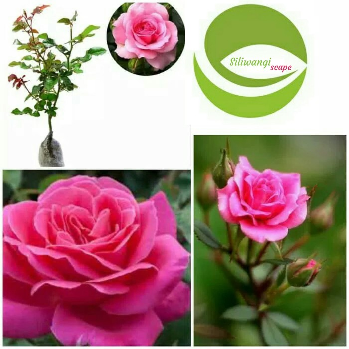 Jual Bibit Bunga Mawar Pink Tanaman Hias Bunga Mawar Pink Harum