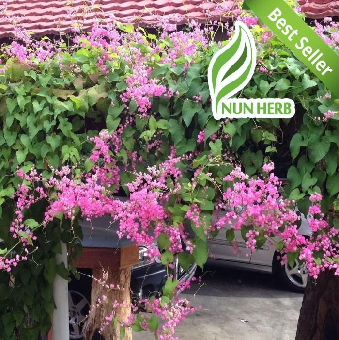 Jual Tanaman Hias Bunga Air Mata Pengantin Bibit Pohon Rambat Pink Kota Tangerang Selatan Nunherb Tokopedia
