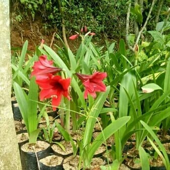Jual Bibit Bunga Amarilis Kota Tangerang Nyamuk Buster Tokopedia