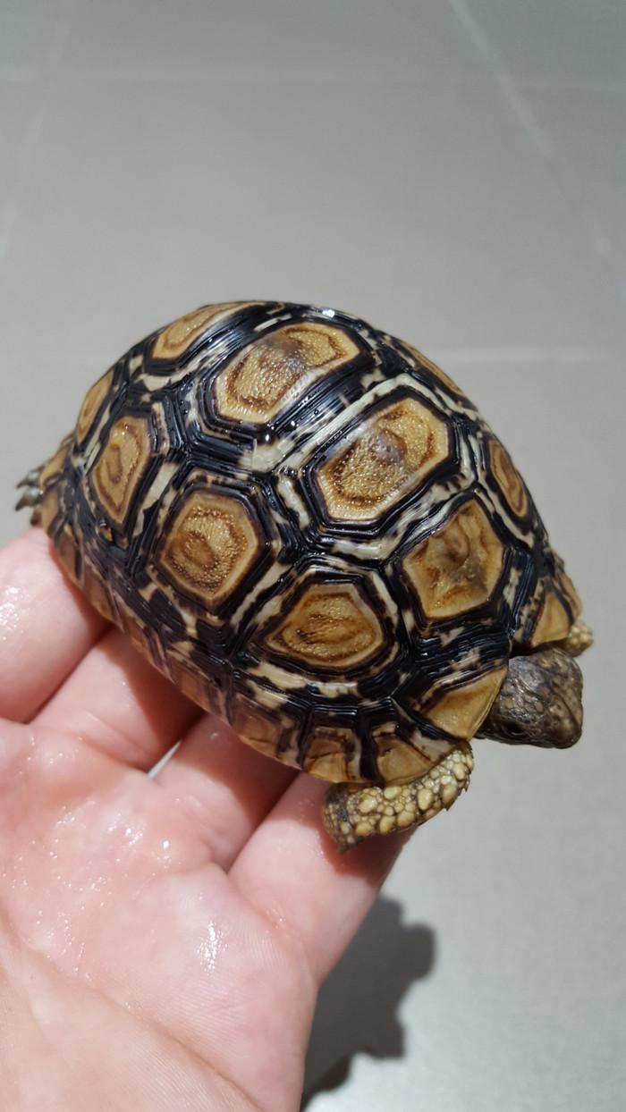 harga Kura-kura darat pardalis high white tortoise Tokopedia.com