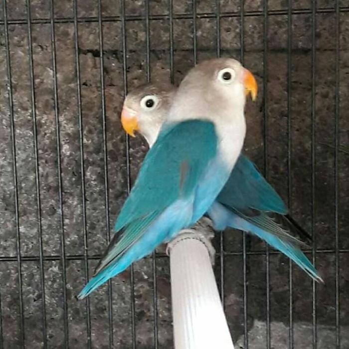 Jual Burung Lovebird biru cobalt - Jakarta Selatan - yola anita ...