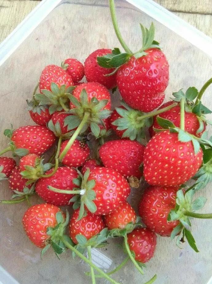 New Product Bibit Tanaman Buah Stroberi / Strawberry - Sudah Adaptasi