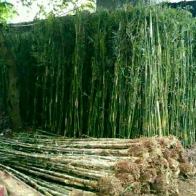 Jual Tanaman Hias Pagar Bambu Jepang Kab Bogor Rahman Floris Tokopedia