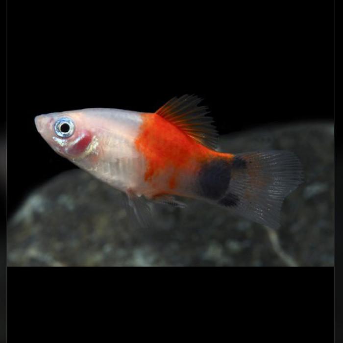 Download 560 Gambar Ikan Hias Platy Terpopuler