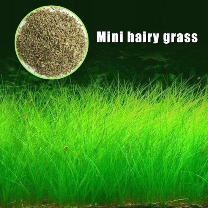 Bibit Benih Tanaman Air Mini Hair Grass Seed Aquascape Aquarium