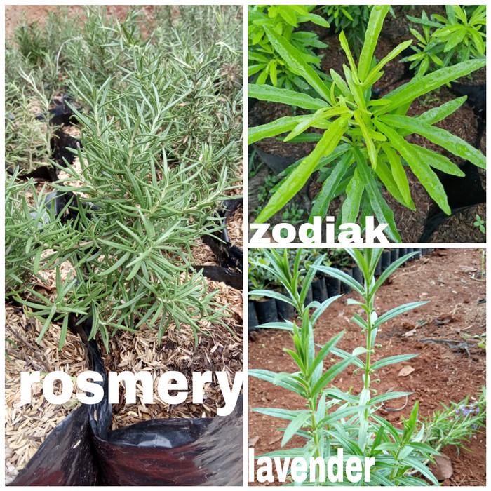 Foto Produk tanaman anti nyamuk 3 paket rosmery zodiak lavender dari Arsitektaman