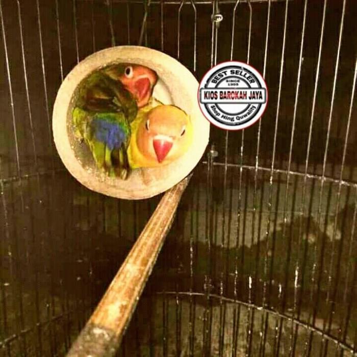 Jual Glodok Bambu Lovebird Atau Glodok Setan Kab Gresik Azy Clip Art Tokopedia