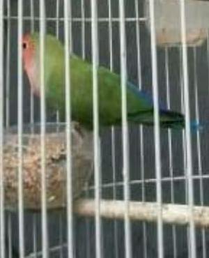 Katalog Lovebird Non Klep Hargano.com