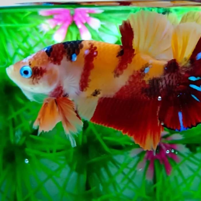 55 Gambar Ikan Cupang Emerald Hd Terbaik Gambar Keren