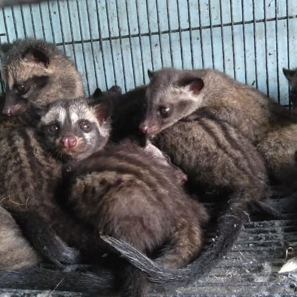 Katalog Musang Pandan Baby Hargano.com