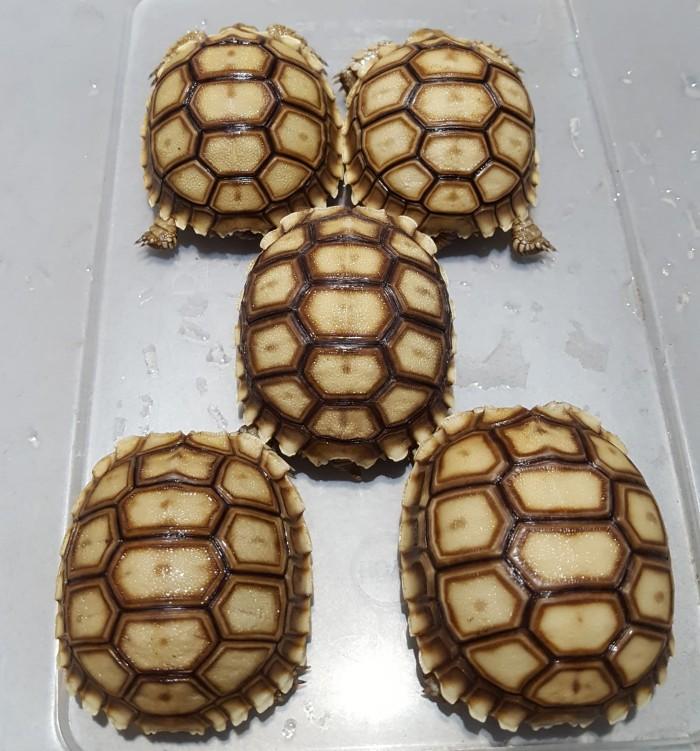 harga Kura-kura darat sulcata tortoise Tokopedia.com
