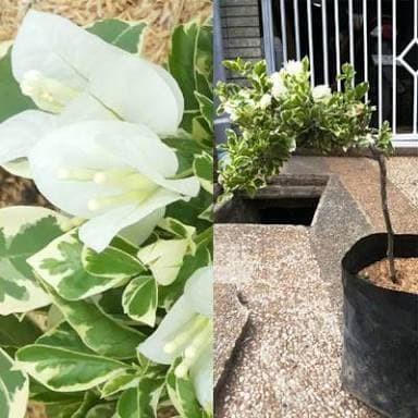 Jual Bibit Tanaman Bunga Bugenvil Putih Varigata Kota Batu Jefribitit Tokopedia