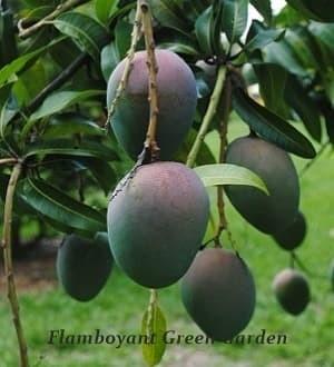 Bibit Super Pohon buah Mangga Agrimania Unggul Cepat Berbuah