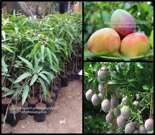 Bibit Pohon Mangga Agrimania Super Unggul Harga PROMO Paket 3 bibit