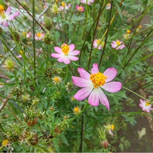 Jual Tanaman Daun Sayur Kenikir Tanaman Bunga Cosmos Kab Malang Yulia Garden Tokopedia