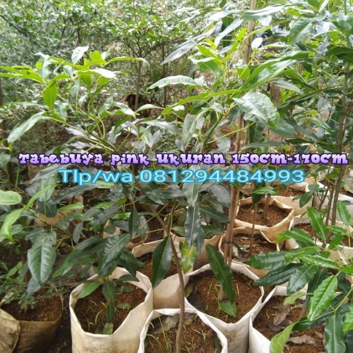 Foto Produk Tabebuya pink ukuran 150-170cm pohon peneduh tabebuya dari grass_taman