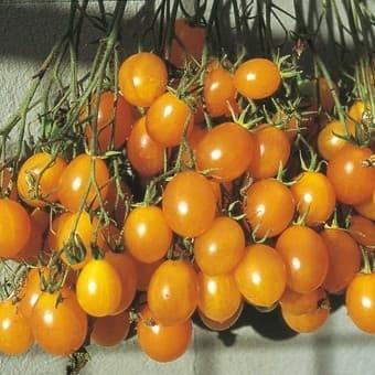 74+ Gambar Tomat Anggur