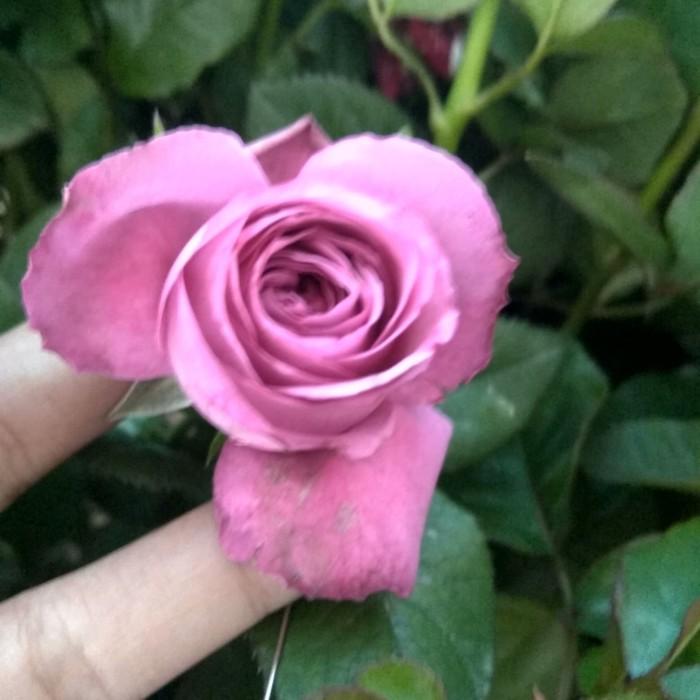 Jual Tanaman Bunga Mawar Ungu Tua Kota Batu Desi Farm Gardening Tokopedia