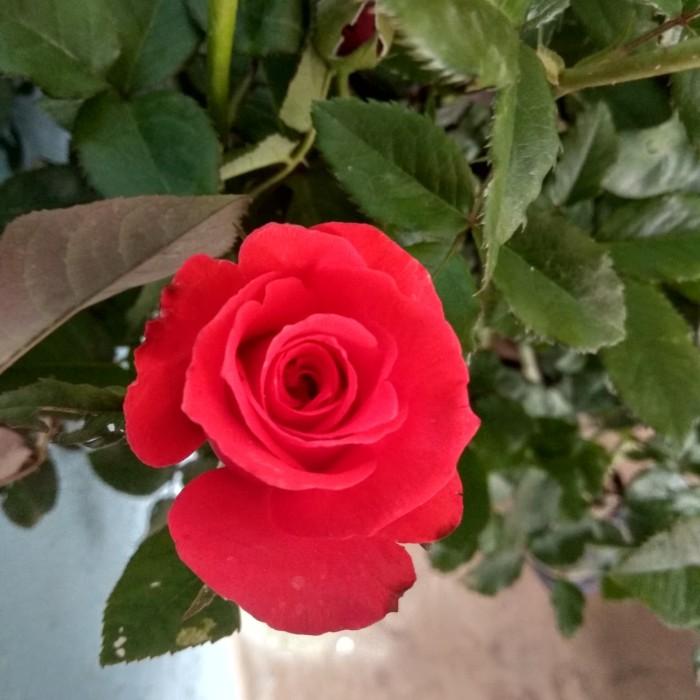 Jual Tanaman Bunga Mawar Merah Kota Batu Desi Farm Gardening Tokopedia