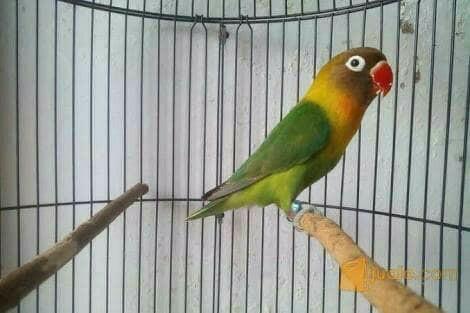 harga Burung love bird / lakbet / josan Tokopedia.com