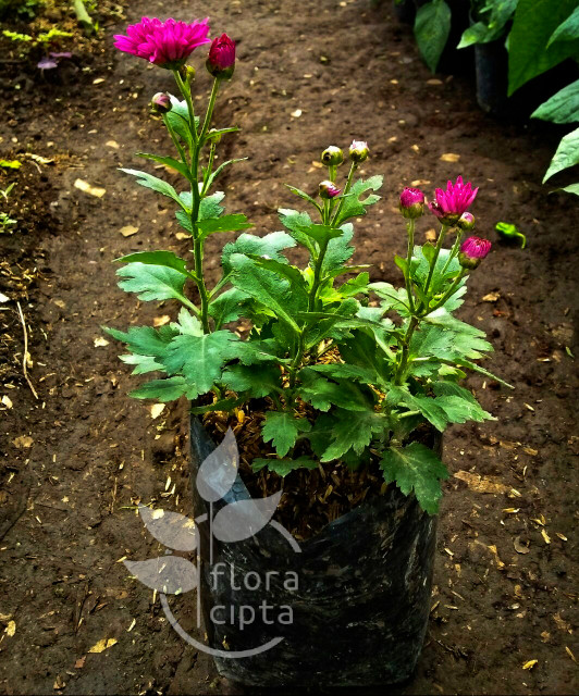 Jual Tanaman Bunga Krisan Aster Pink Kab Bogor Indah Flora Tokopedia