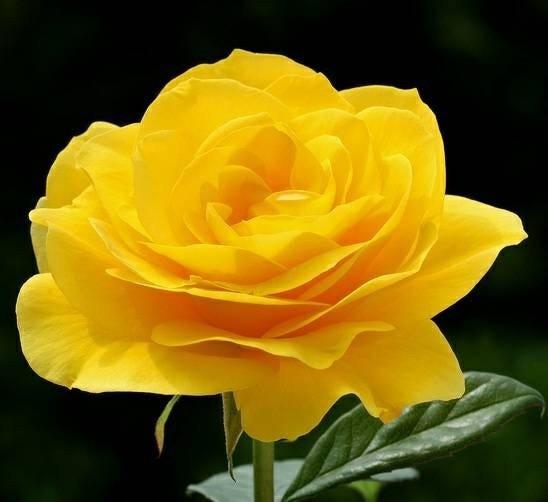 Jual Tanaman Hias Bunga Mawar Kuning Kab Bogor Indah Flora Tokopedia