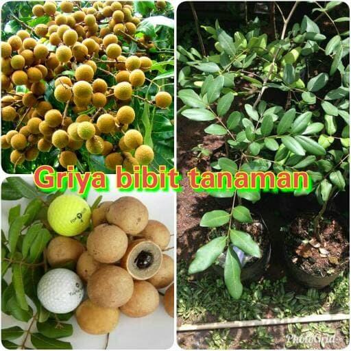 harga Bibit buah kelengkeng pimpong Tokopedia.com