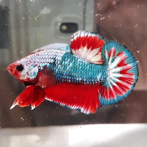 8300 Koleksi Gambar Ikan Cupang Plakat Fancy Gratis Terbaik