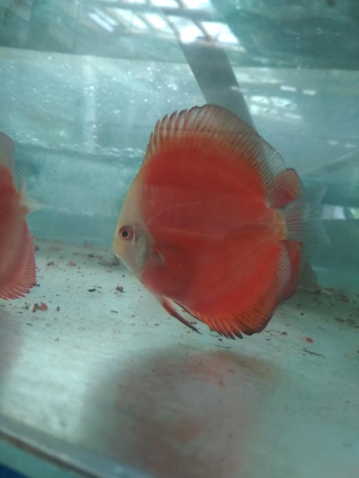 harga Ikan discus red melon size 2,5  up Tokopedia.com