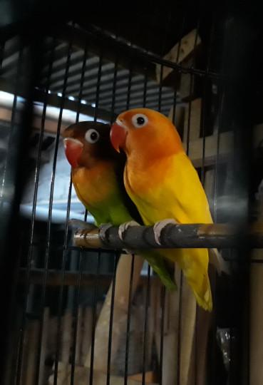 Jual Burung Lovebird Sepasang Cek Harga Di Pricearea Com
