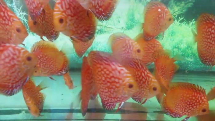 harga Ikan discus pigeon 2,5 Tokopedia.com