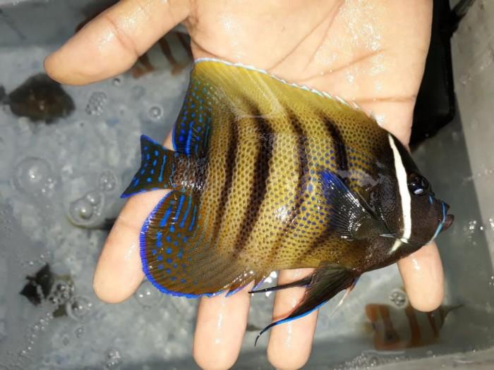 harga Ikan hias angel kalong Tokopedia.com