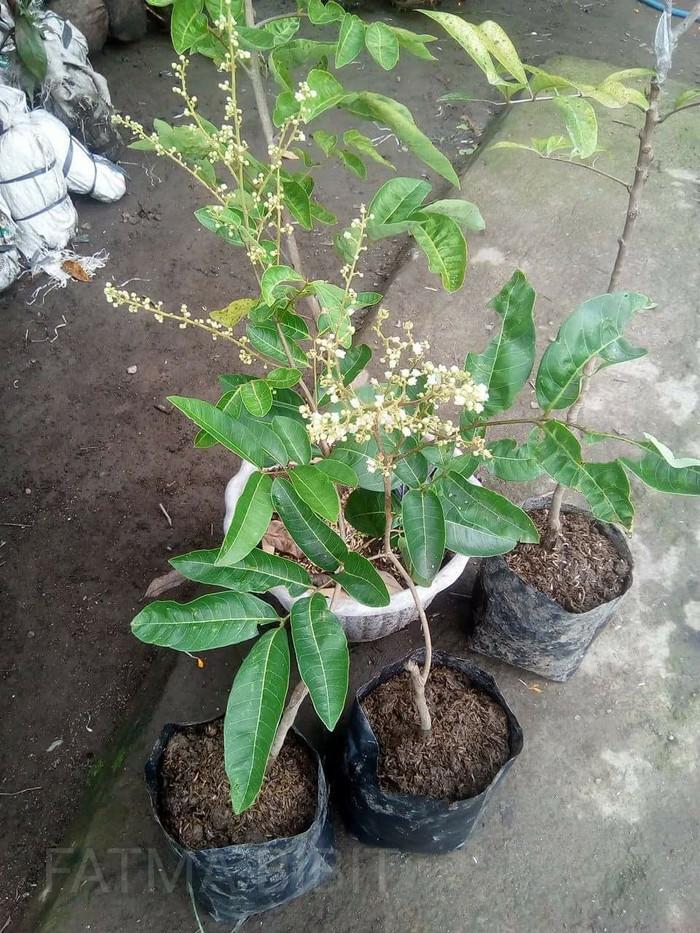 harga Bibit kelengkeng aroma durian berbunga Tokopedia.com